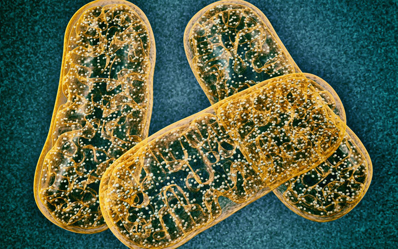 Mitochondria, An Energy Takeover