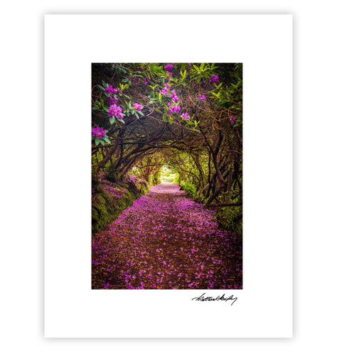Rhododendron Tunnel Kenmare Reenagross