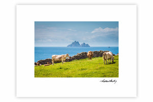 Skellig Michael Cows Skellig Ring
