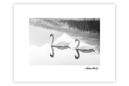 Black Valley Swans 2