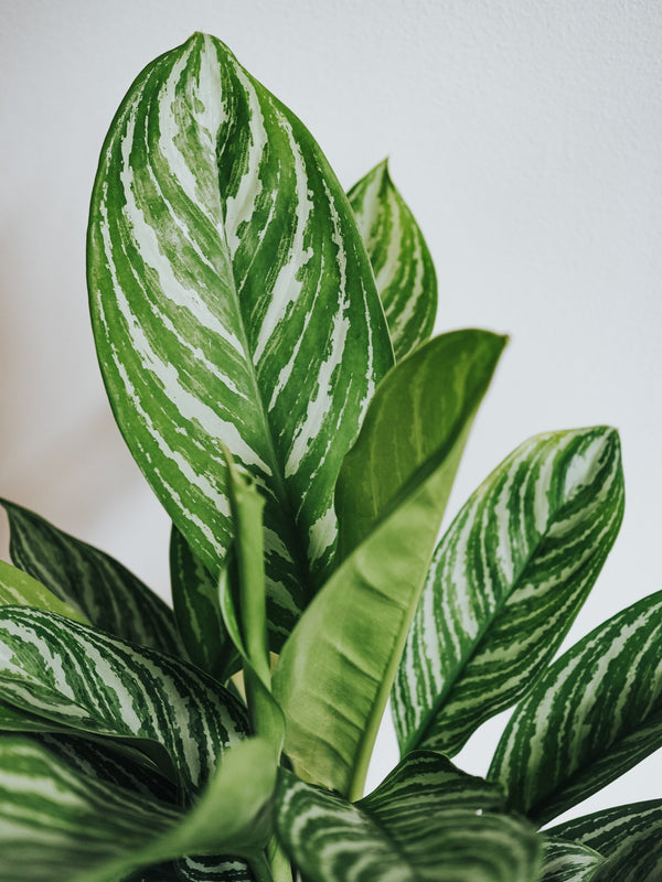 Aglaonema Chinese Evergreen - Plantredo