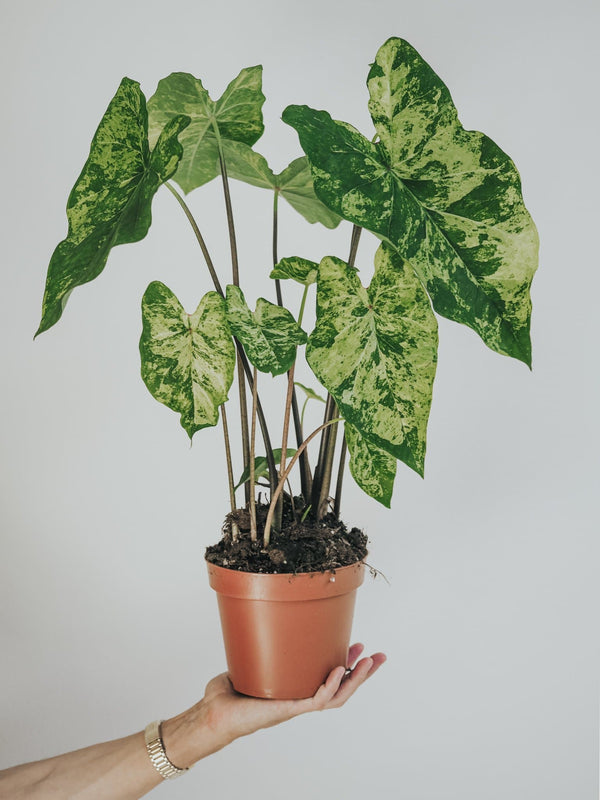 Caladium Frog in a blender - Djungelrummet