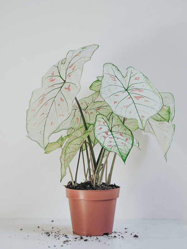 Caladium Strawberry Star - Djungelrummet