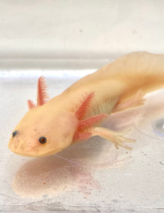 Sub Adult GFP Freckled Lucy/Leucistic #1
