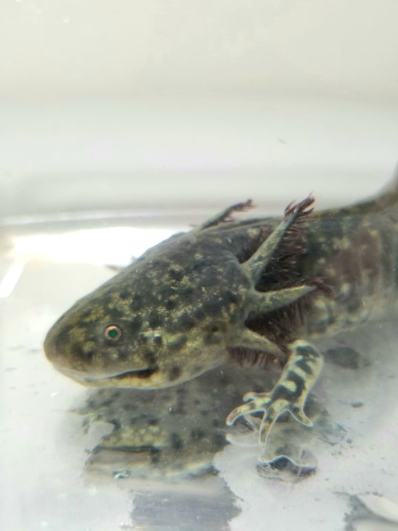 Adult Male GFP Green Hybrid Axolotl/Andersoni (SUPER RARE)