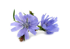 Chickory Root