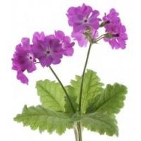 Flower, Plant, Petal, Terrestrial plant, Groundcover, Herbaceous plant, Flowering plant, Annual plant, Subshrub, Magenta