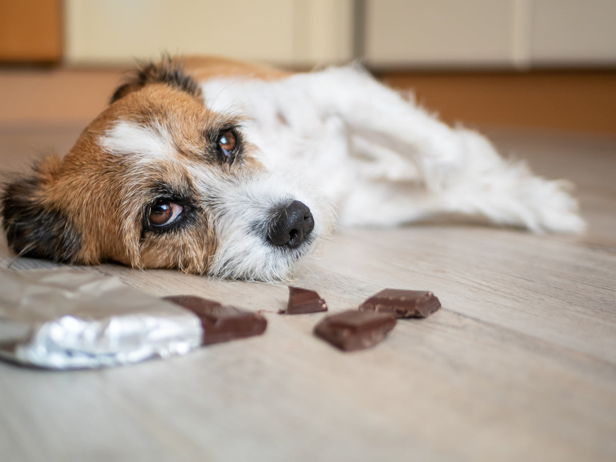 Chocolate can make dogs very sick and even be fatal.