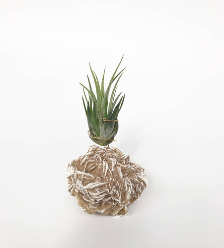 Desert Rose Air Plant Holder