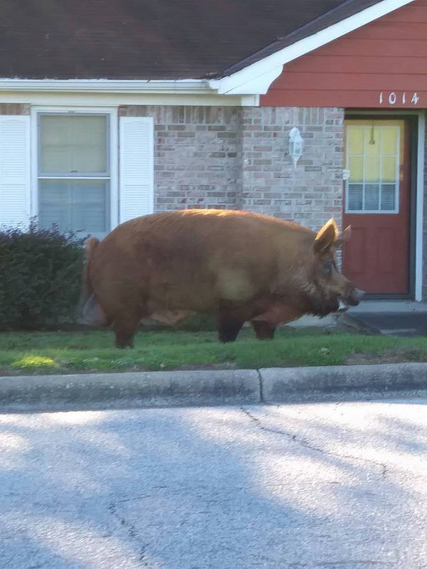 A hog big enough to shadow a mini cooper was spotted roaming an Alabama neighborhood.