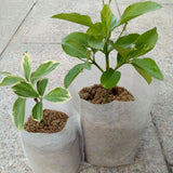 100pcs Disposable Pots for Seedling
