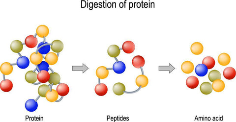 [Graphic] Digestion of protein in the body