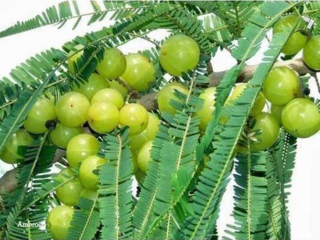 Amla Oil Benefits for Hair