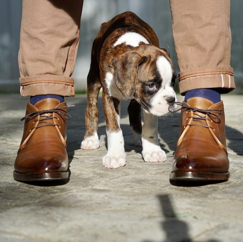"Antonio Meccariello Hatch Grain Chukka Boots with a Beautiful Patina and young puppy ""Captain"""