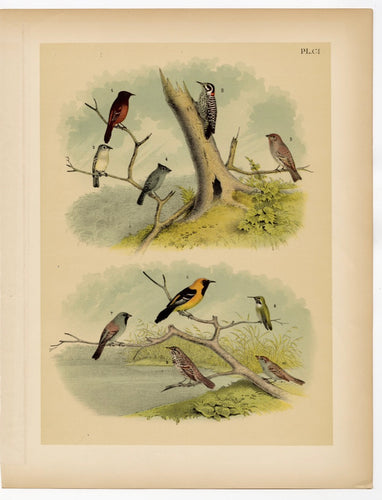 1878 Antique STUDNER'S POPULAR ORNITHOLOGY Small Birds, Woodpecker Lithographic Print