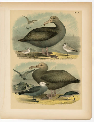 1878 Antique STUDNER'S POPULAR ORNITHOLOGY Sea Bird Lithographic Print