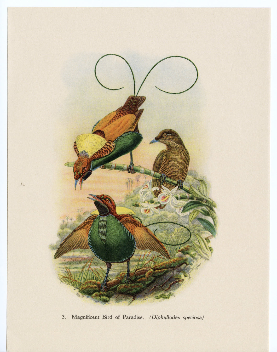 1948 Vintage, Colorful Birds of Paradise Scientific Lithographic Print