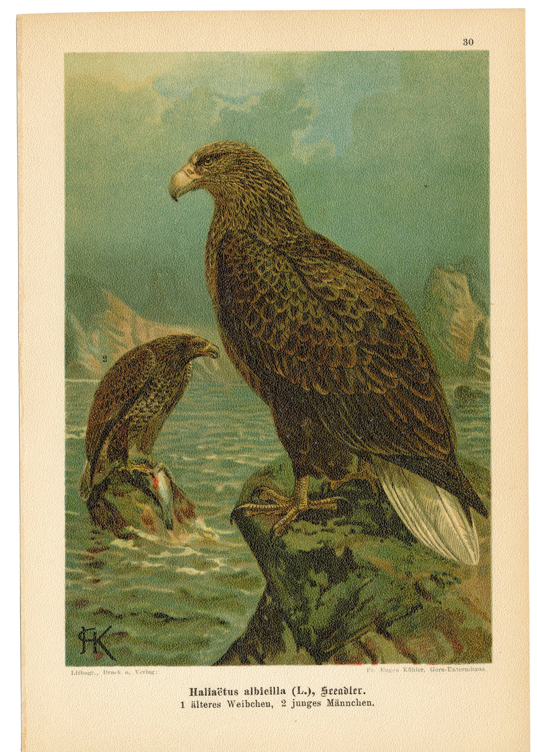 Antique German Scientific Lithographic Print || White Tailed Eagle, Birds