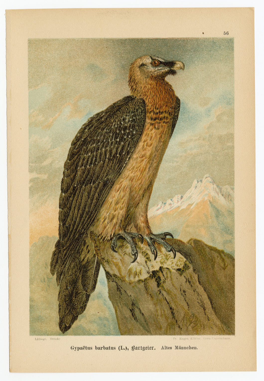 1905 Antique Scientific Lithographic Print || Bearded Vulture, Bird