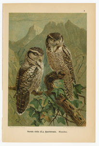 1905 Antique German Scientific Lithographic Print || Northern Hawk Owl, Bird