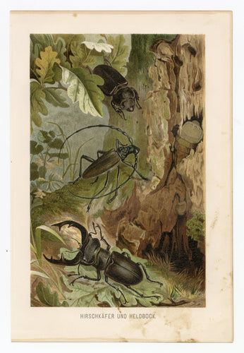 1895 Antique German Scientific Lithographic Print || Deer & Capricorn Beetle, Bugs