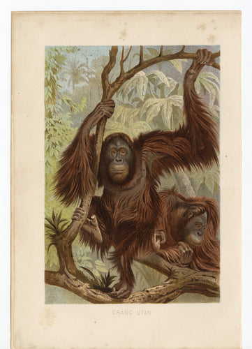 1892 Antique German Scientific Lithograph, Print || Orangutan, Primates