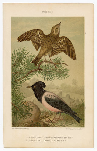 017 1887 Antique German Scientific Lithographic Print || Tree-Pipit & Rosy Starling, Birds