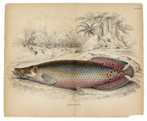 Antique Sudis Gigas, Fish Scientific Lithograph, Print, Plate