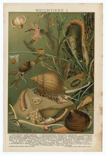 1900 Antique German Scientific Lithographic Print || Sea, Clams, Mussels, Snails