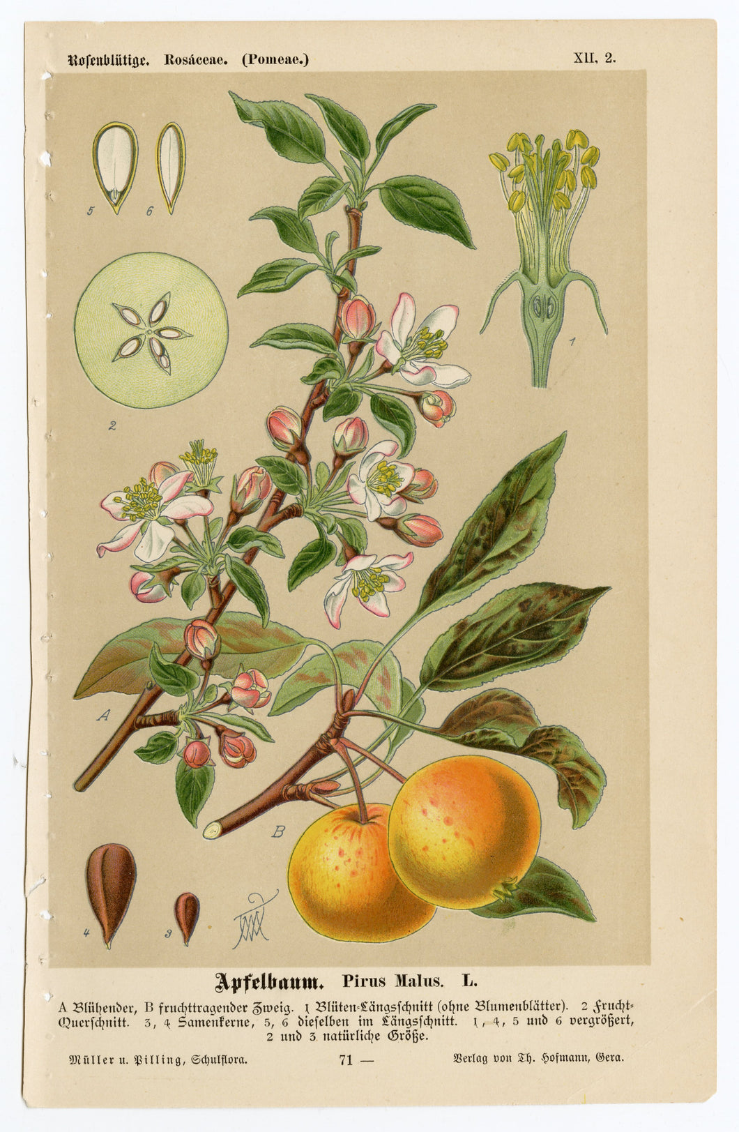Antique German Nature Illustrated Book Page, Apple, Fruit Tree