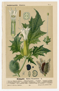 Antique German Nature Illustrated DATURA STRAMONIUM Book Page, Jimsonweed, Poison