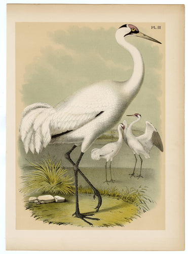 1878 Antique STUDNER'S POPULAR ORNITHOLOGY White Whooping Crane Lithographic Print