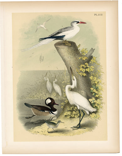 1878 Antique STUDNER'S POPULAR ORNITHOLOGY Snowy White Egret Lithographic Print