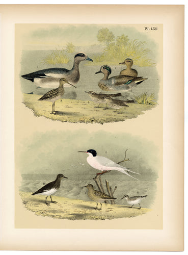 1878 Antique STUDNER'S POPULAR ORNITHOLOGY Original Duck, Sandpiper Lithographic Plate
