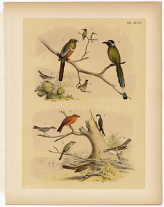 1878 Antique STUDNER'S POPULAR ORNITHOLOGY Original Small Bird Lithographic Plate