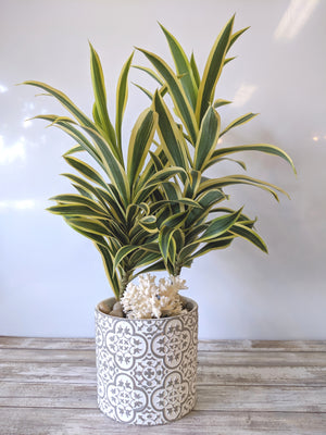 Dracaena Reflexa in White Ceramic