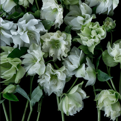 Double White Helebores by Helen Bankers
