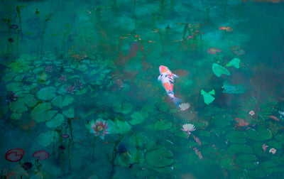 Monet's Pond | Koi Fish | Wall Mural by Back to the Wall