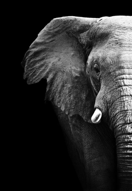 Elephant Office Art Print ANI014 - Flogit2us.com
