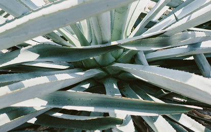 Close up on the leaves of two or three agave plants in bright natural sunlight.
