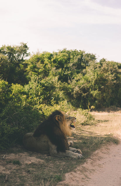 A lion seated at the side of a dirt road, roaring.