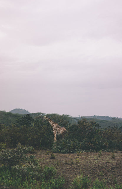 A single giraffe, standing and eating across a clearing in the brush.
