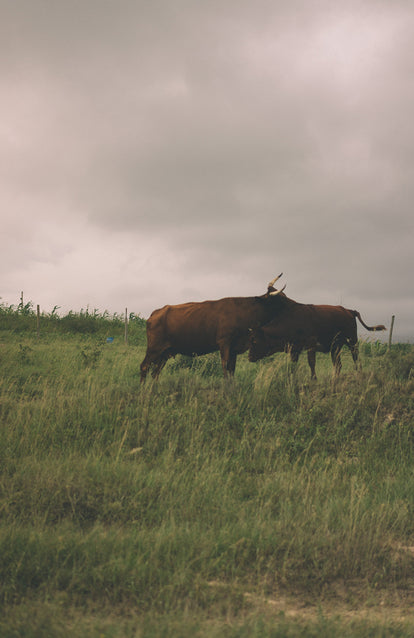 A large brown bull and cow, rubbing up on each other in a field under a cloudy sky.