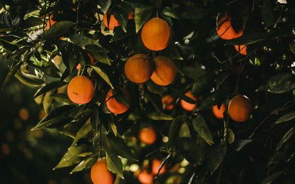 Ripe oranges ready for picking.