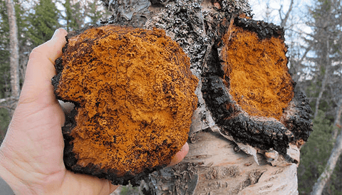 what-does-chaga-look-like