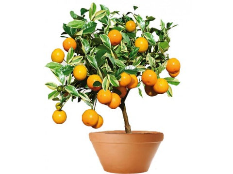 Kumquat Tree 50 cm