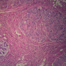 Load image into Gallery viewer, Prepared Microscope Slide, Human Breast, Normal Mammary Gland, Resting, H&E