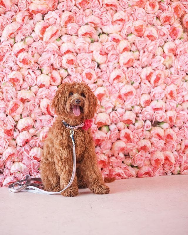 Pet Ticket Picture - Dog in pink peony room