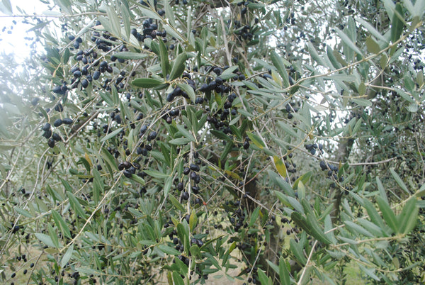 Did you know that olive trees are evergreens?