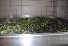 Olives in the hopper (tramoggia)
